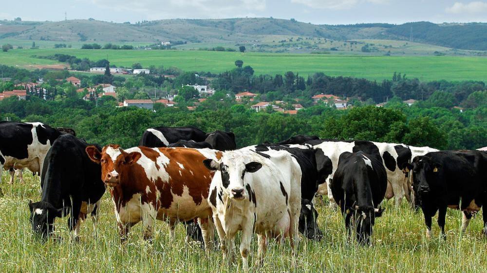 Φάρμα Κουκάκη - Αγελάδες της φάρμας ΚΟΥΚΑΚΗ σε ένα απόλυτα φυσικό περιβάλλον